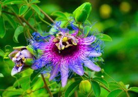 Заставки Пассифлора, Passiflora, стратоцвет