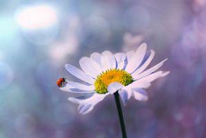 Ladybug on a Daisy petal · free photo