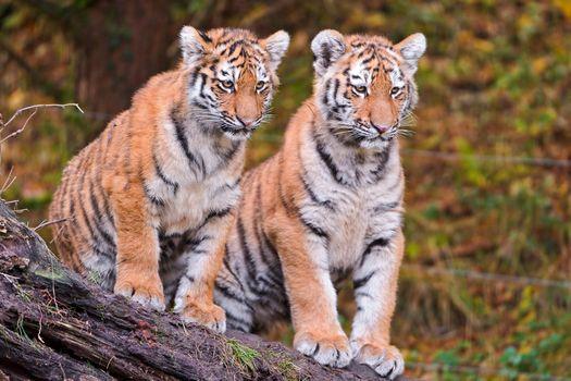 Заставки животное, большая кошка, тигренок