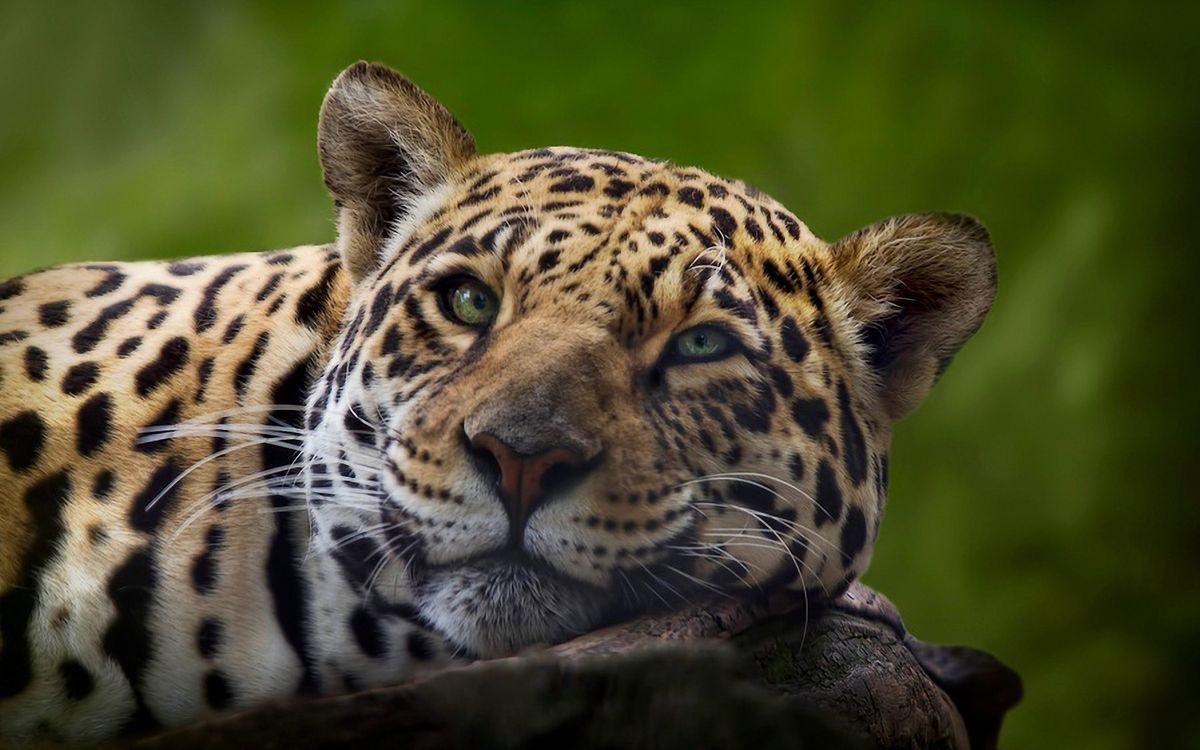 Морда леопарда · бесплатное фото