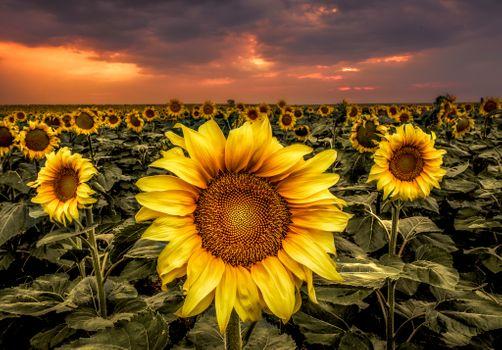 Photo free dusk, landscape, sunflowers