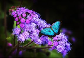 Photo free Ageratum, butterfly, flower