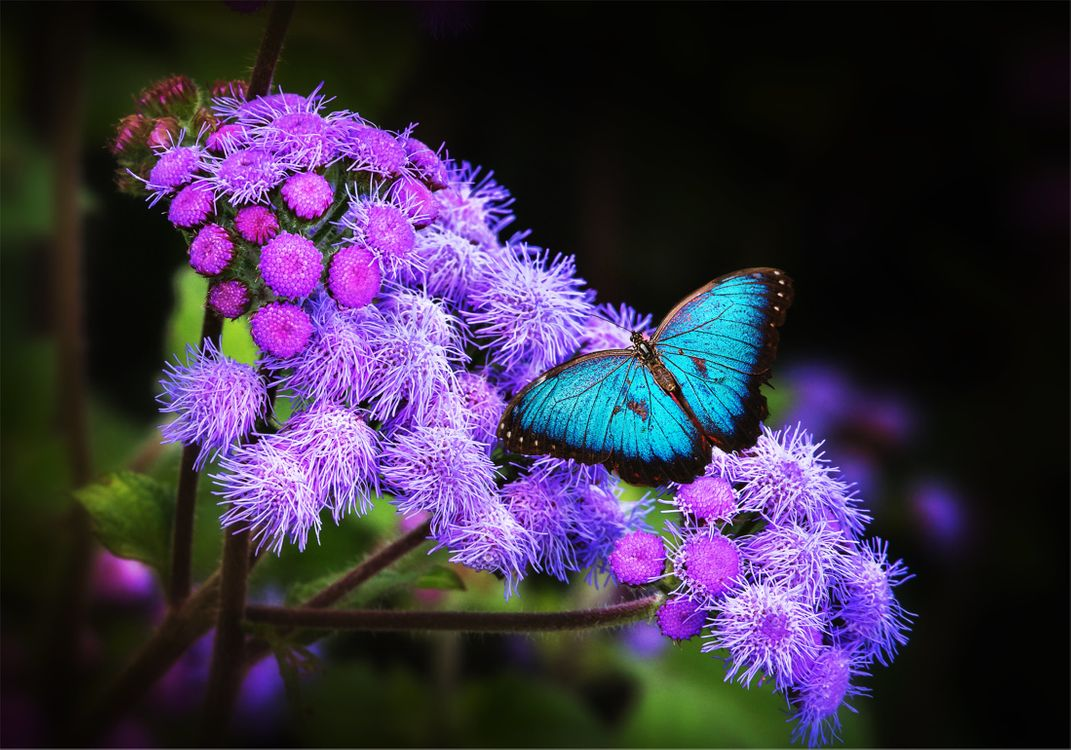 Фото бесплатно Ageratum, бабочка, цветок, макро, флора, растение, яркий, заставка, обои, цветочная композиция, цветы
