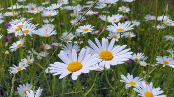 Фото бесплатно поле, флора, ромашка