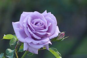 Летнее фото фиолетовой розы