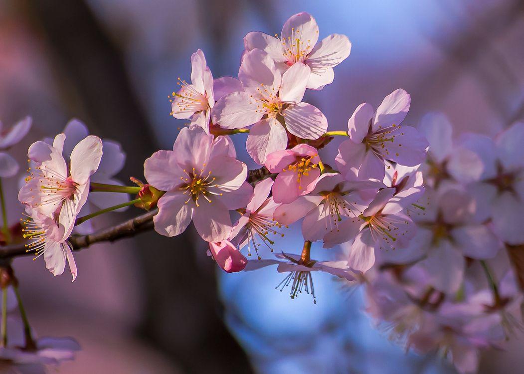 Фото бесплатно весенняя природа, цветущая ветка, цветы, sakura, Cherry Blossoms, ветка, флора - на рабочий стол
