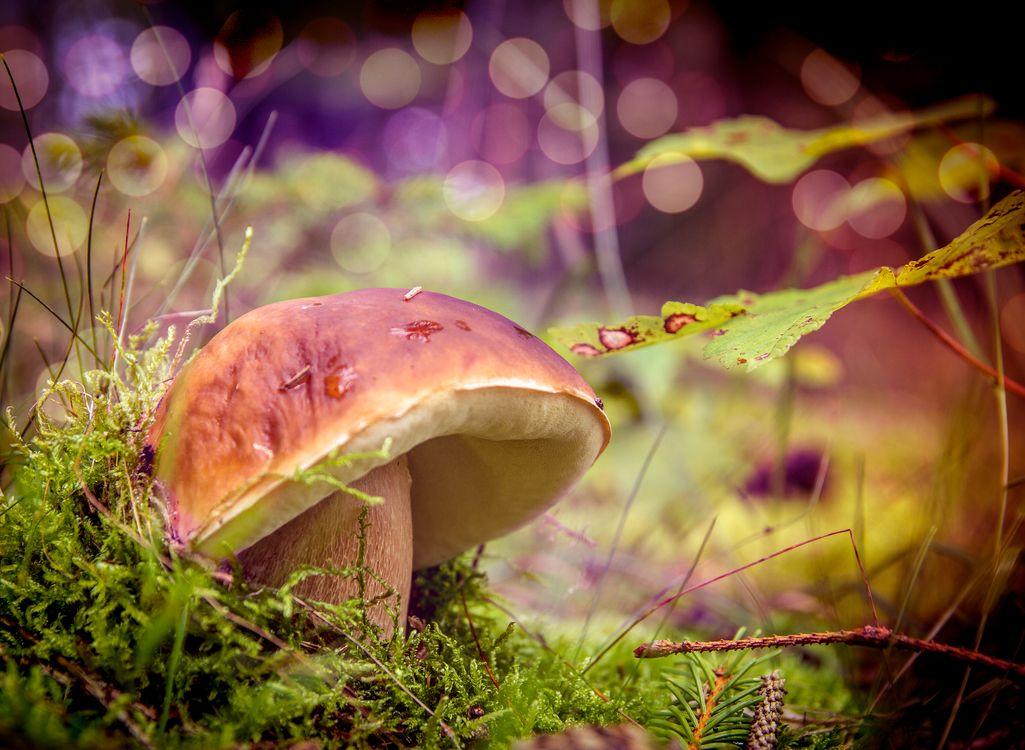 Фото бесплатно белый гриб, боровик, Steinpilz - на рабочий стол