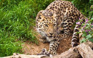 Леопард на охоте · бесплатное фото