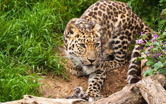 Leopard on the hunt · free photo