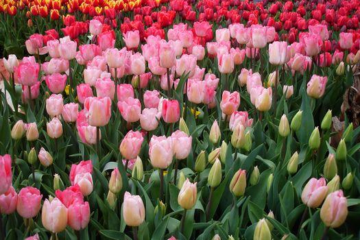 50 тюльпанов · бесплатное фото