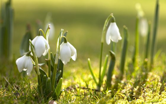 Photo free Snowdrop, spring, spring has come