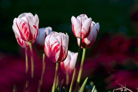 Бесплатные фото растение,цветок,лепесток,тюльпан,весна,цвет,сад,цветы,тюльпаны,макросъемка,цветущее растение,семейство лилий