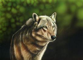 Бесплатные фото волк,хищник,животное,взгляд,art