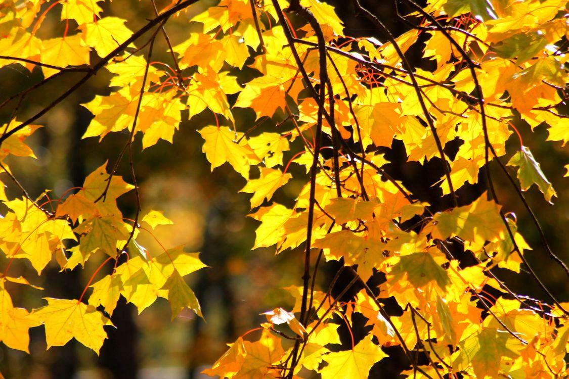 Фото бесплатно ветви клена, листопад, желтые листья, веточки, дерево, природа