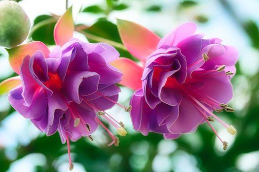Заставки Комнатный цветок фуксия,Грацилис,Fuchsia gracilis,грациозная,изящная,растение,флора