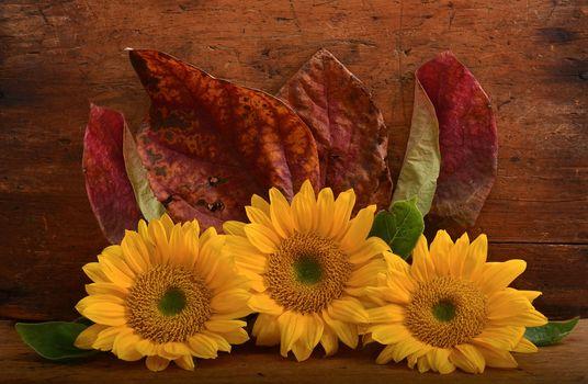 Бесплатные фото подсолнухи,листья,цветок,деревянный фон,флора