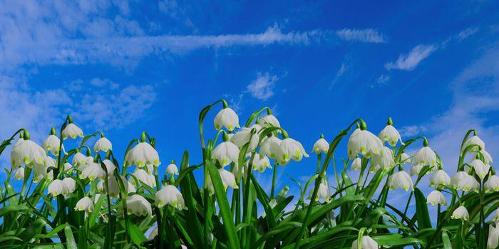 Бесплатные фото весна,подснежник,цветок,цвести,белый,весенний цветок,луг,небо