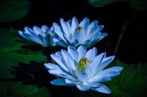 Фото бесплатно водяная лилия, голубой, лепестки
