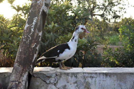 Фото бесплатно утка, белая, веснушки