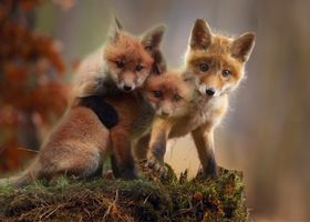 Photo free cubs, red, predator