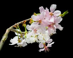 Заставки цветущие ветви, черный фон, флора