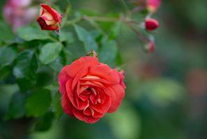 Заставки роза, ветка, цветок