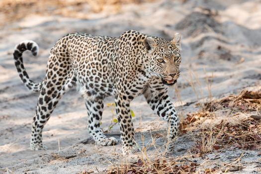 Фото бесплатно животное, большая кошка, леопард