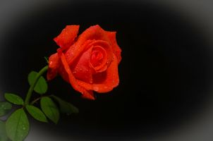 Фото бесплатно роза, красная роза, цветы