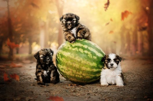 Three puppies and watermelon · free photo