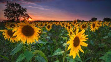 Бесплатные фото закат,поле,подсолнухи,флора,цветы,пейзаж