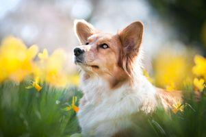 Собака и желтые нарциссы · бесплатное фото