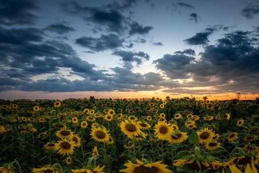 Бесплатные фото закат,поле,подсолнухи,цветы,небо,облака,природа,пейзаж