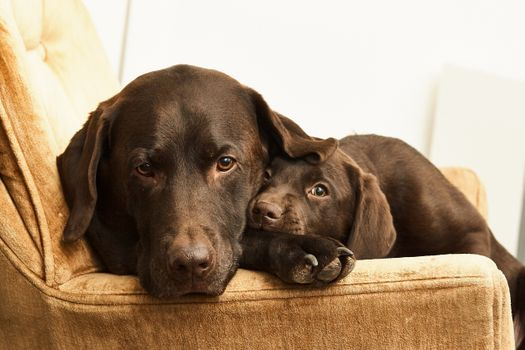 Photo free family Labrador, dogs, cute