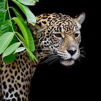 Заставки Leopard портрет, дерево, животное
