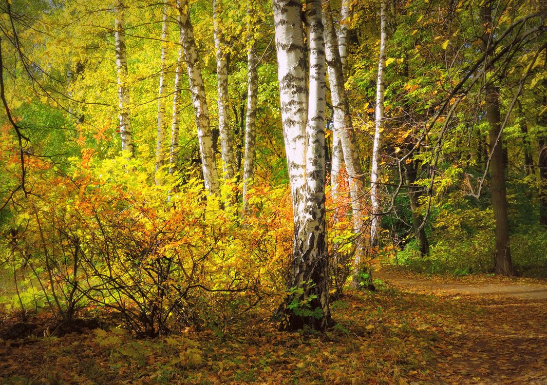 Фото бесплатно осень, березки, березовая роща, лес, деревья, дорога, осенние краски - на рабочий стол