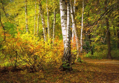 Заставки осень, березки, березовая роща