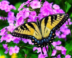 Photo free Tiger Swallowtail butterfly on flower, butterfly, flower