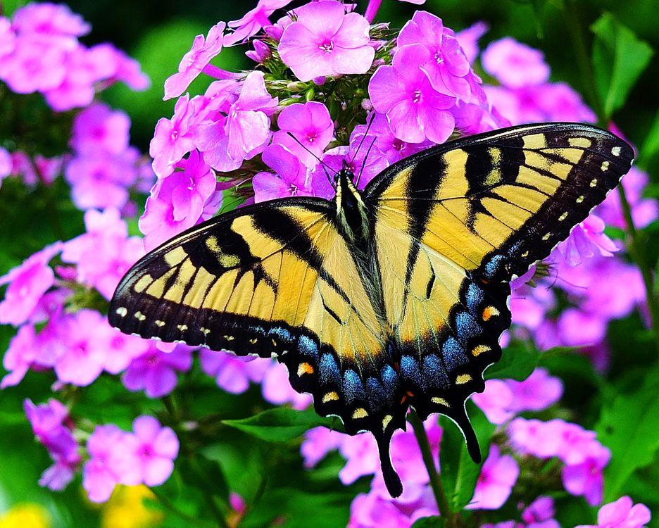 Обои Тигр Махаон бабочка на цветке, бабочка, цветок картинки на телефон