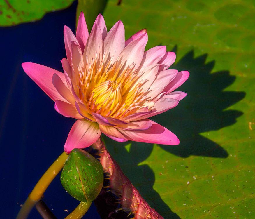 Розовая лилия · бесплатное фото