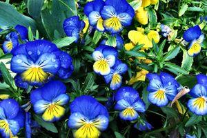 Фото бесплатно Ярко-синие анютины глазки, фиалки, цветы