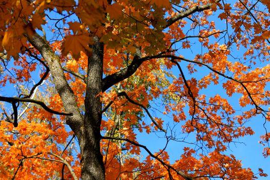 Бесплатные фото дерево,клен,осенний листопад,небо