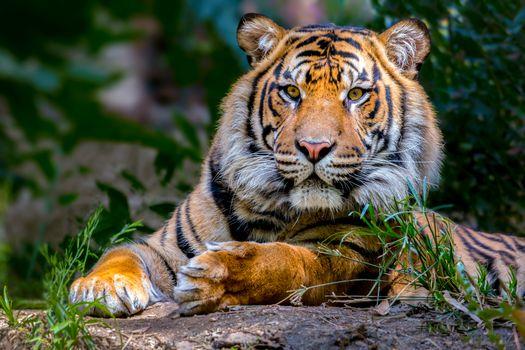 Бесплатные фото тигр,хищник,животное,взгляд