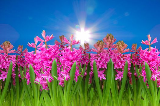 Бесплатные фото весна,цветы,небо,облака,солнце,гиацинт,клумба,сезон,цветение,флора