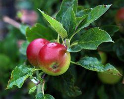 Фото бесплатно листья, природа, фрукты