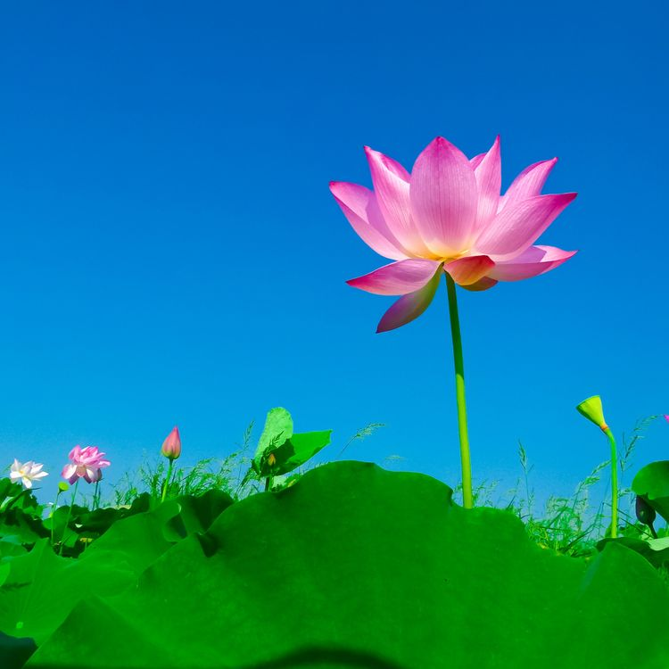 Фото священный лотос лотос цветение лепесток - бесплатные картинки на Fonwall