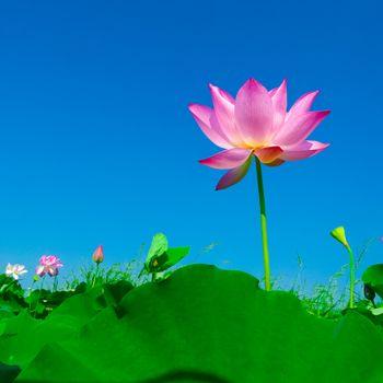Photo free sacred Lotus, Lotus bloom, petal