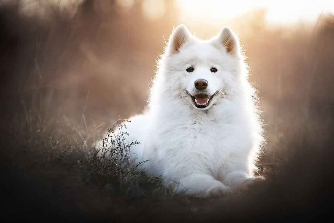Милый белый самоедик · бесплатное фото