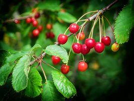 Фото бесплатно вишня, ветка, листья