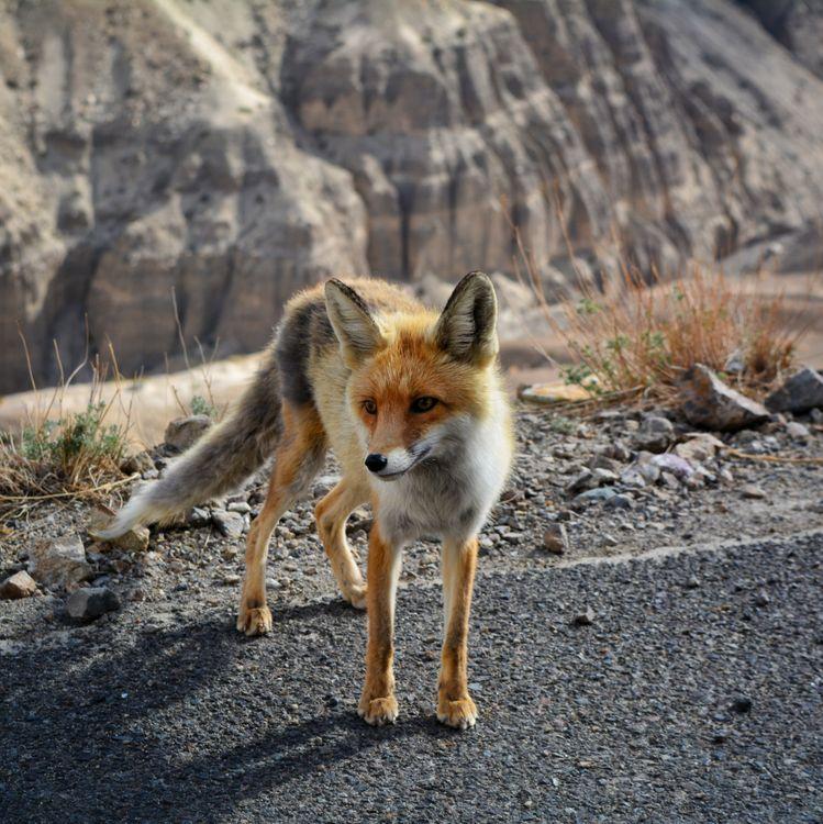 Фото бесплатно Лиса, дикое животное, собака - на рабочий стол