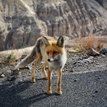 Фото бесплатно Лиса, дикое животное, собака